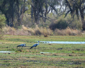 1.9.2019 - Kayak Tag 2, Morning Walk - Wattled Crane