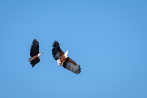 2.9.2019 - Kayak Tag 3, Morning Walk - African Fish Eagle im Balzflug