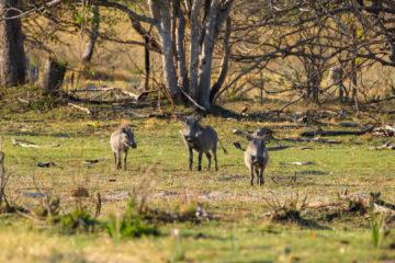 3.9.2019 - Kayak Tag 4, Morning Walk - Warthogs (Warzenschweine)