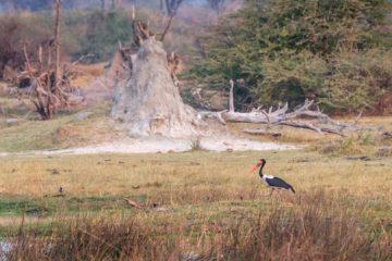 3.9.2019 - Kayak Tag 4, Evening Walk - Saddle-billed Stork