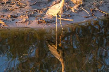 4.9.2019 - Ausklang im Old Bridge - Black-headed Heron
