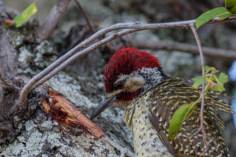 7.9.2019 - Moremi Xakanaxa, Spaziergang zur Bootramp - Bennett's Woodpecker