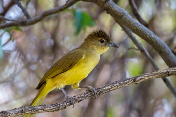 18.9.2019 - RiverDance Lodge - Yellow-bellied Greenbul
