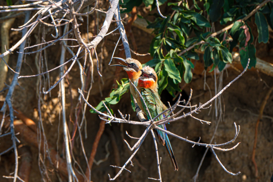 20.9.2019 - Boottransfer zur Xaro Lodge - White-fronted Bee-eater