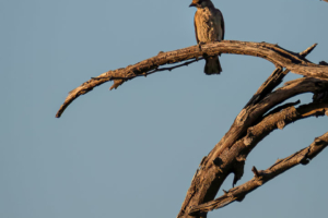 1.9.2019 - Kayak Tag 2, Evening Walk - Greater Honeyguide (female)