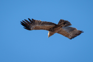 2.9.2019 - Kayak Tag 3, Morning Walk - Tawny Eagle