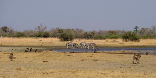 7.9.2019 - Moremi, Bodomatau Lagoon - Zebras und Baboons