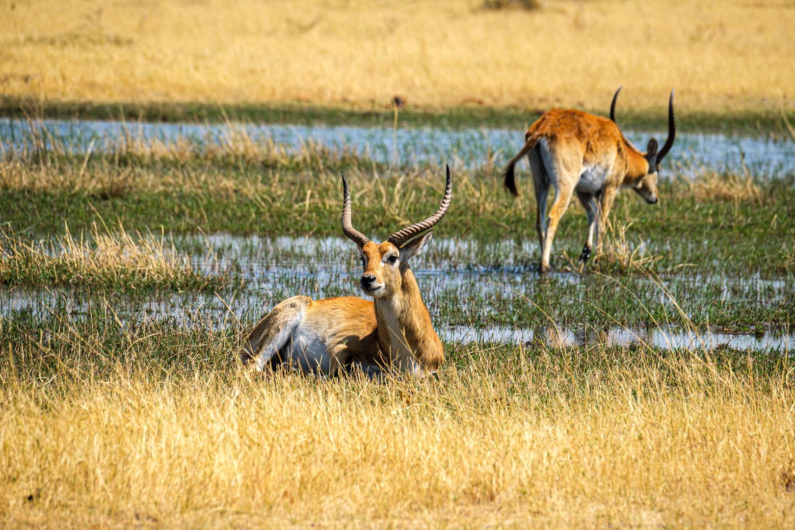 Afrika 2019 – Tierwelt, Antilopen