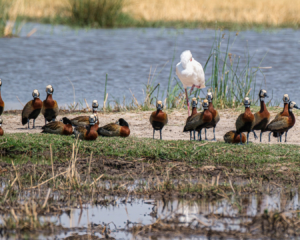 7.9.2019 - Moremi, Makerekwa - White-faced Duck, African Spoonbill