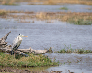 7.9.2019 - Moremi, Makerekwa - Grey Heron