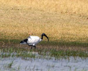 7.9.2019 - Moremi, Makerekwa - Sacred Ibis