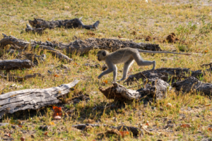 7.9.2019 - Moremi, Paradise Pools - Vervet Monkeys