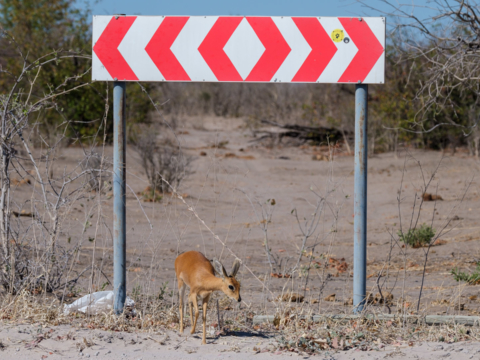 9.9.2019 - North Gate -> Mababe Gate - Steenbok