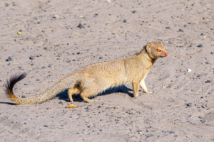 10.9.2019 - Savuti Camp, #1 - Slender Mongoose