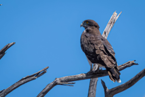 10.9.2019 - Savuti-Linyanti direct Road - Black-chested Snake Eagle