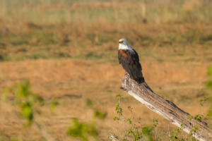 10.9.2019 - Linyanti, Game Drive - African Fish Eagle