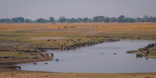 12.9.2019 - Chobe Riverfront - Waterbucks + Enten + Gänse