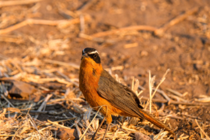 12.9.2019 - Chobe Riverfront - White-browed Robin-Chat