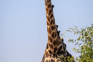 13.9.2019 - Chobe Riverfront - Giraffe mit Oxpeckers