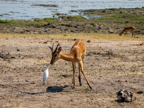 13.9.2019 - Chobe Riverfront - Impala und Little Egret