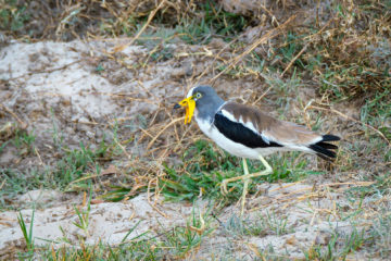 14.9.2019 - Sambesi, Sunset Boat Tour - White-crowned Lapwing
