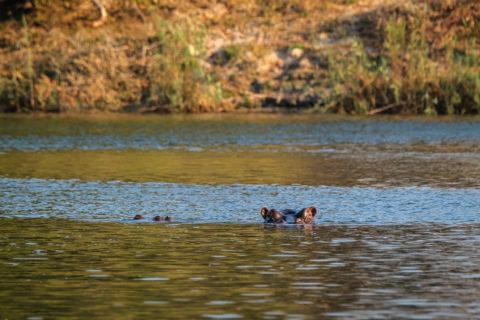 14.9.2019 - Sambesi, Sunset Boat Tour - Hippo