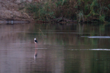 14.9.2019 - Sambesi, Sunset Boat Tour - Black-winged Stilt