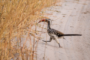 15.9.2019 - Nkasa Rupara NP - Red-billed Hornbill