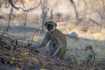 17.9.2019 - Buffalo Core Area - Vervet Monkey