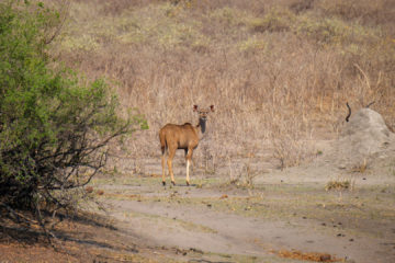 17.9.2019 - Buffalo Core Area - Kudu