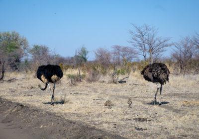 19.9.2019 - Mahango Core Area - Strauße mit Nachwuchs