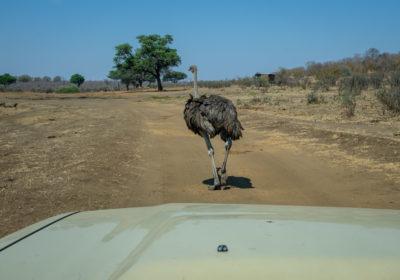 19.9.2019 - Mahango Core Area - der Strauß fand es auf dem Weg am schönsten