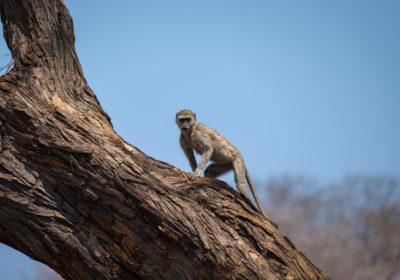 19.9.2019 - Mahango Core Area - Vervet Monkey