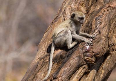 19.9.2019 - Mahango Core Area - Vervet Monkeys