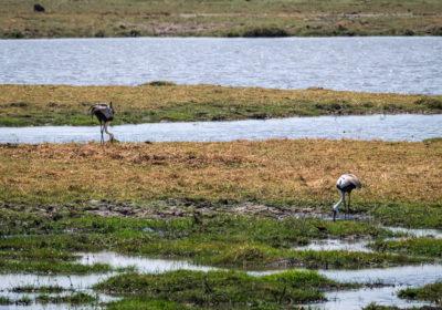 19.9.2019 - Mahango Core Area - Wattled Crane