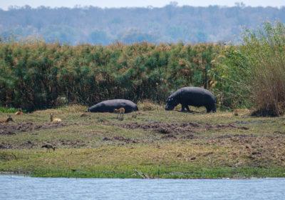 19.9.2019 - Picknick, Mahango Core Area - Hippo und Bushbucks