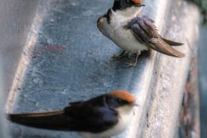 19.9.2019 - Drotsky's Lodge - Wire-tailed Swallow (ohne Wire ;-)