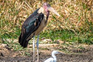 20.9.2019 - Boottransfer zur Xaro Lodge - Marabu, Little Egret