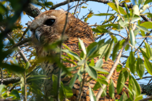 21.9.2019 - Xaro Lodge, Morning Walk - Pel's Fishing Owl