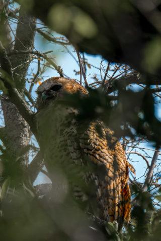 21.9.2019 - Xaro Lodge, Morning Walk - Pel's Fishing Owl