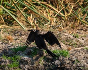 21.9.2019 - Xaro Lodge, Boat Tour - African Darter
