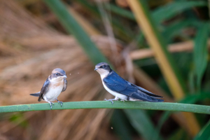 21.9.2019 - Xaro Lodge, Boat Tour - Wire-tailed Swallow