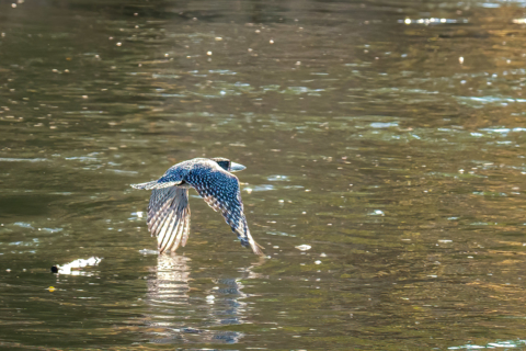 21.9.2019 - Xaro Lodge, Boat Tour - Giant Kingfisher