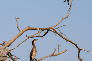 21.9.2019 - Xaro Lodge, Boat Tour - White-fronted Bee-eater, White-breasted Cormorant