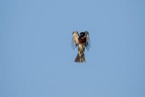 21.9.2019 - Xaro Lodge, Boat Tour - Giant Kingfisher