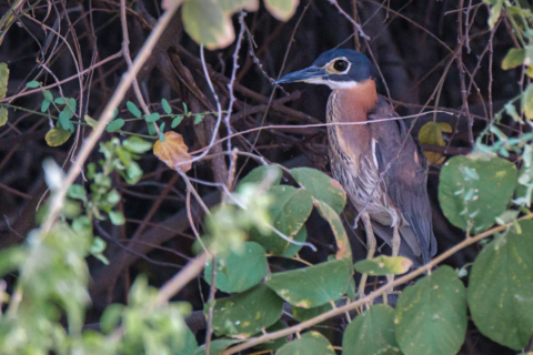21.9.2019 - Xaro Lodge, Boat Tour - White-backed Night Heron