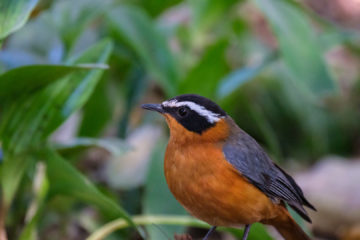 23.9.2019 - Old Bridge - White-browed Robin-Chat