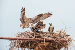 23.7.2014 Flaming Gorge SP - Ospreys mit Jungen
